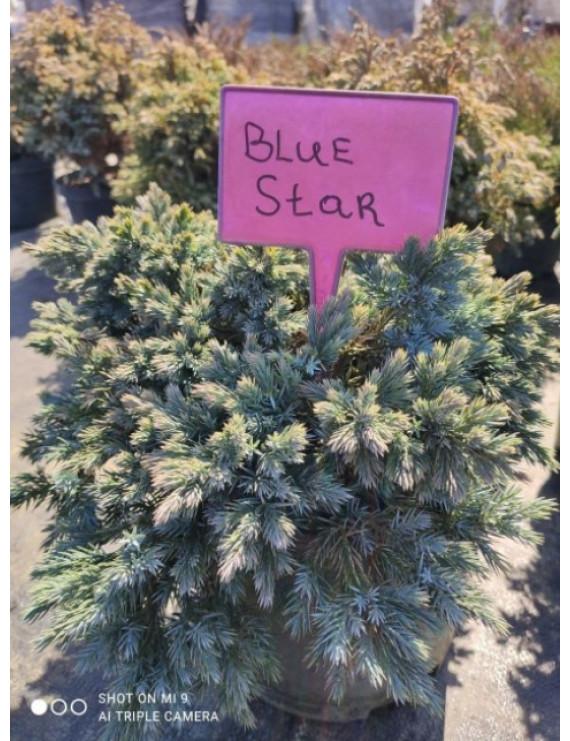 Ялівець лускатий Blue Star горщик p1,5