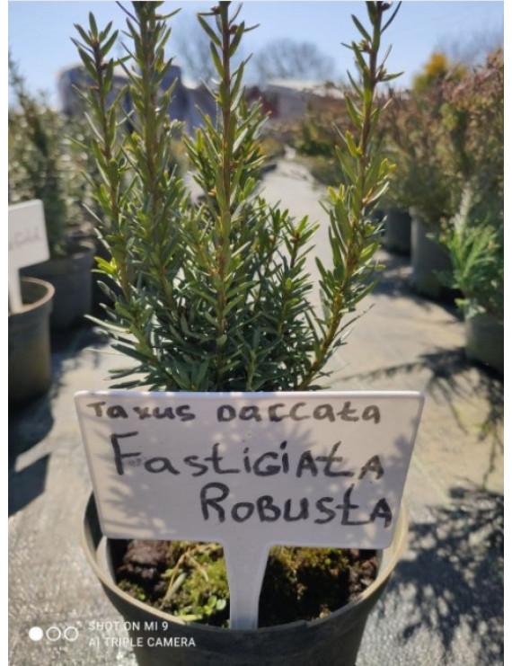 Тис ягідний Fastigiata Robusta горщик с5