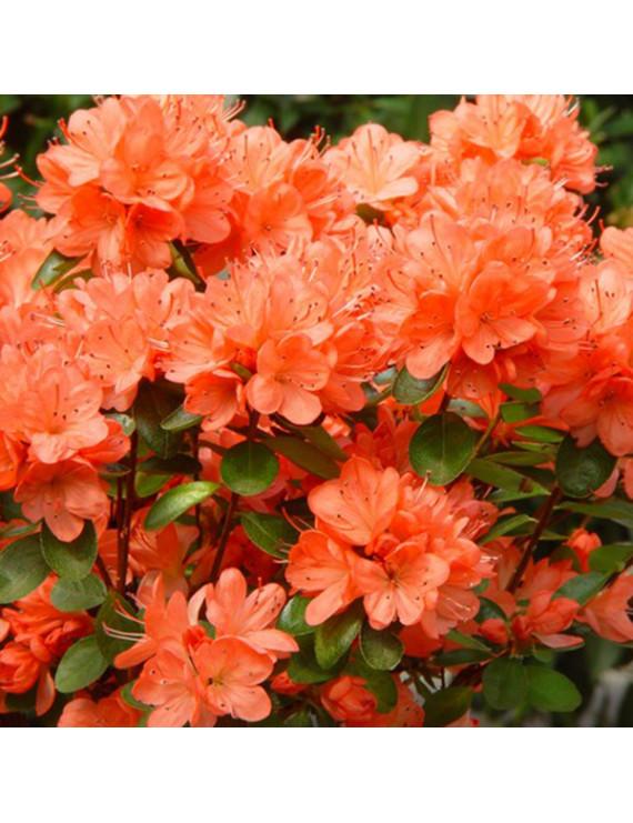 Азалія Orange горщик p1,5